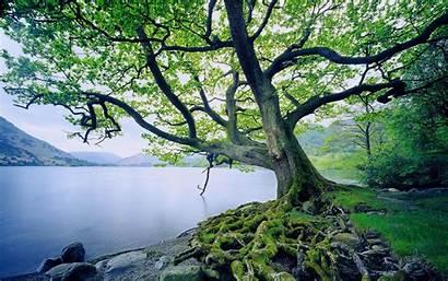 Tree Oak Backgrounds Wallpapers Trees Desktop Leaves