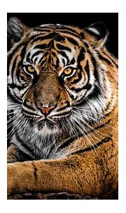 Tiger 4K Wallpapers   HD Wallpapers   ID #27974