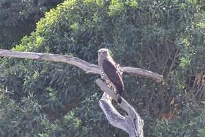 Southern Banded Snake-Eagle 1   BirdLife Port Natal