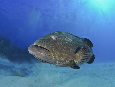 grouper catch wikipedia fillet wiki fishes known names