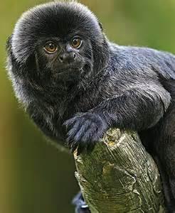Colombia Little Black Monkey