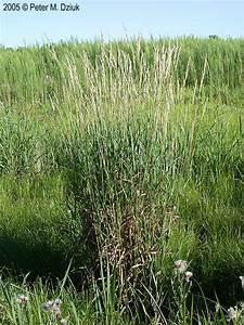 Phalaris arundinacea (Reed Canary Grass): Minnesota ...