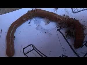 Vers De Terre Acheter : le plus gros vers de terre du monde youtube ~ Farleysfitness.com Idées de Décoration
