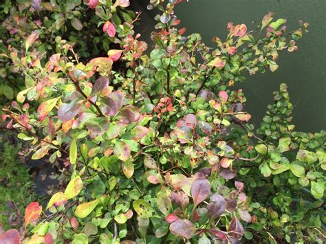 hibiskus hecke schneiden hibiskus hecke giftig hibiskus hecke top qualit t