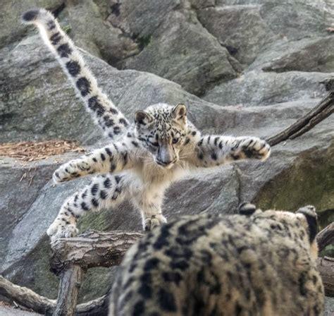 snow leopard cub practices pouncing cutesypooh