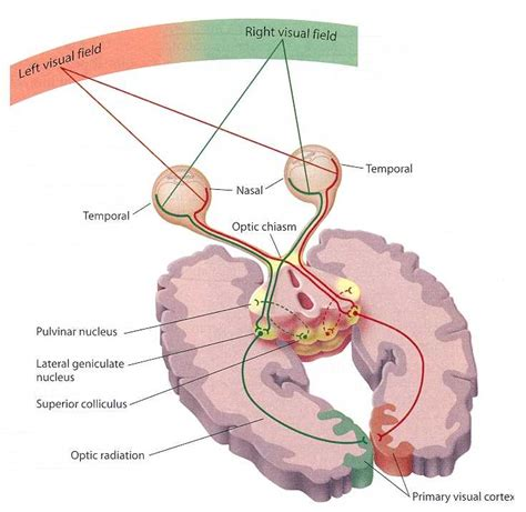 psychlopedia occipital lobes