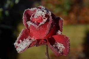 Rosen Schneiden Zeitpunkt : rosen schneiden wann ist der richtige zeitpunkt ~ Frokenaadalensverden.com Haus und Dekorationen