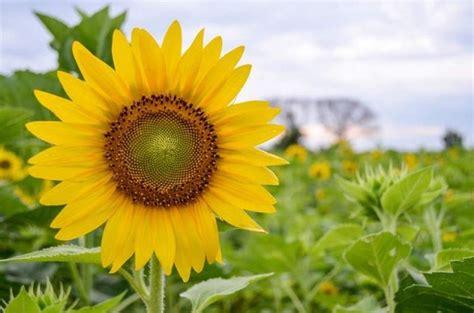 jual dijual bibit tanaman bunga matahari helianthus annuus