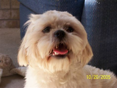 Lhasa Apso Breed Shedding by Lhasa Apso Breed Information Puppies Pictures