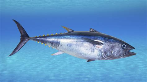 tuna fish why some chefs just can t quit serving bluefin tuna the