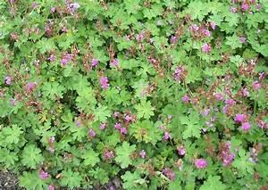 Heimische Pflanzen Für Den Garten : bodendecker geranien geeignete arten stauden pelargonien ~ Michelbontemps.com Haus und Dekorationen
