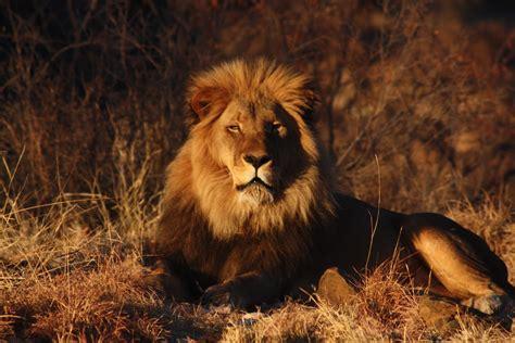 Beautiful Animals Safaris Amazing Lions Big Cats Africa