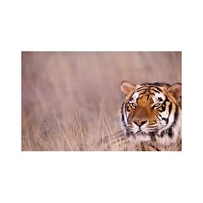 Wallpaper DB: bengal tiger pictures