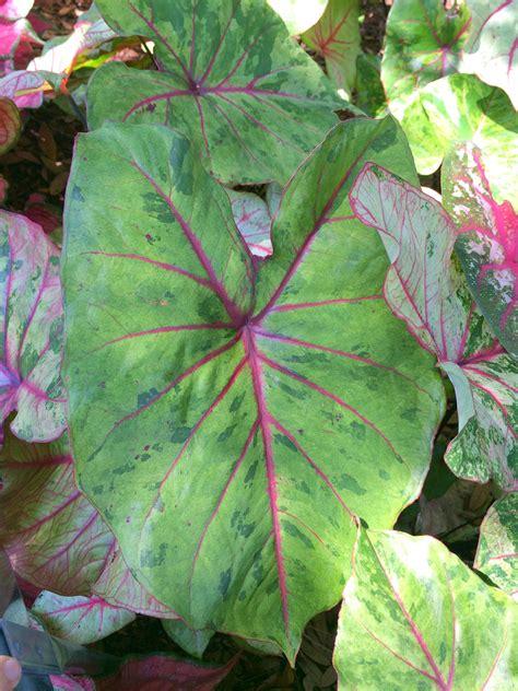 caladium varieties  smarty plants