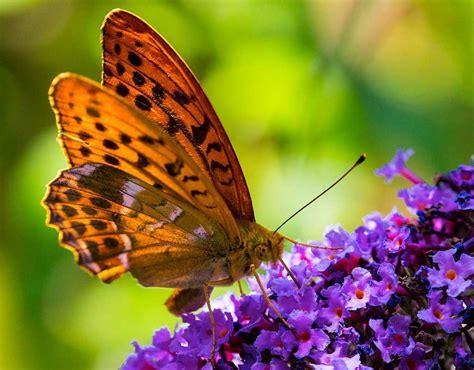 Wie Lockt Man Schmetterlinge An?  Der Schmetterlingsgarten
