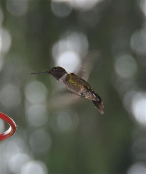 sugar and water ratio for hummingbirds sugar