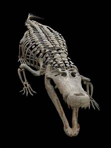 Deinosuchus , 30 foot Crocodilian Skeleton on Behance