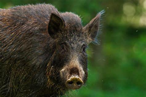 Wild Boars Are Terrorising British Villages In