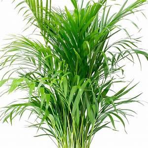 Chamaedorea, Elegans, -, 1, Plant, Office, Live, Indoor, Pot, Plant, Tree, 5051641170404