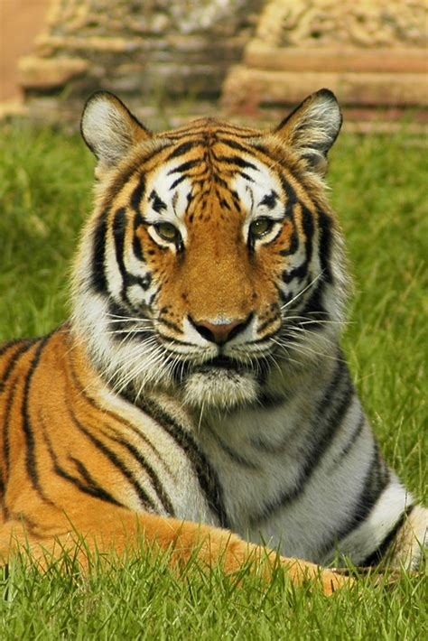 Tiger Photo by Tiger Free Stock Photo Up Of A Bengal Tiger 9462