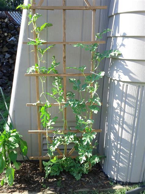 Vertical Gardening Zucchini by Zucchini Vertical Gardening Garden Ftempo