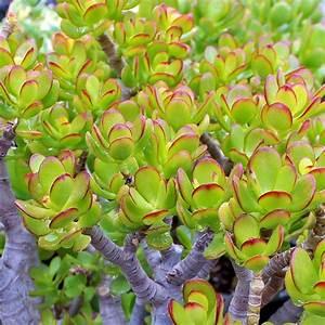 Crassula ovata 'Baby Jade' - The Classic Jade Plant