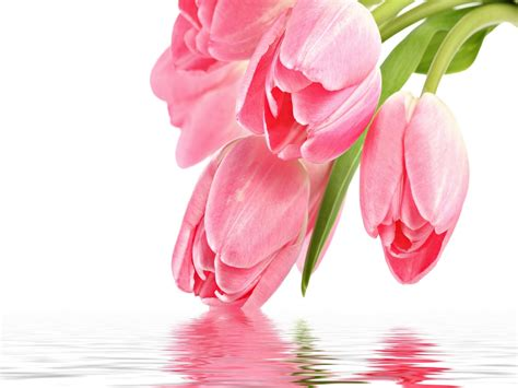 beautiful pink tulip hd wallpaper paintings  paint