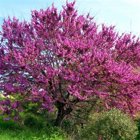 romarin cuisine arbre de judée cercis siliquastrum vente d 39 arbre de