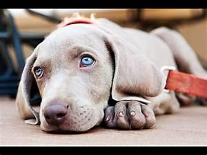 The 25+ best Blue weimaraner puppy ideas on Pinterest ...