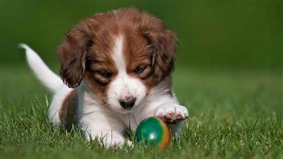 Puppy Kooikerhondje Egg Dog Grass Easter Nature