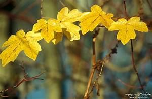 Alpenveilchen Gelbe Blätter : feld ahorn acer campestre aceraceae gelbe bl tter ~ Lizthompson.info Haus und Dekorationen