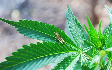Organic Pest Control For Cannabis Home Growers