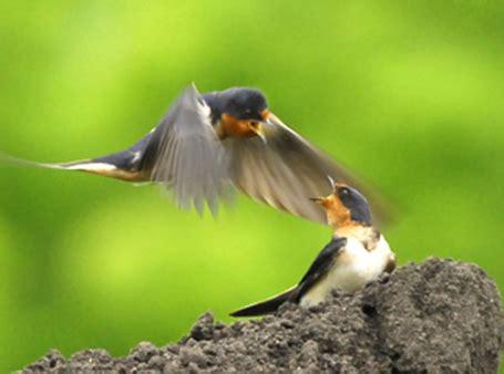 best 28 do barn swallows mate for barn swallow birds