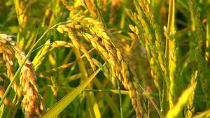 Cereal Field  Rice Plants Just Stock Footage Video  100  Royalty