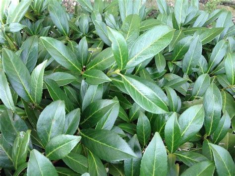Kübelpflanzen Winterhart Immergrün by 150 Stuck Prunus Herbergii Heckenpflanze Immergr 252 N Und