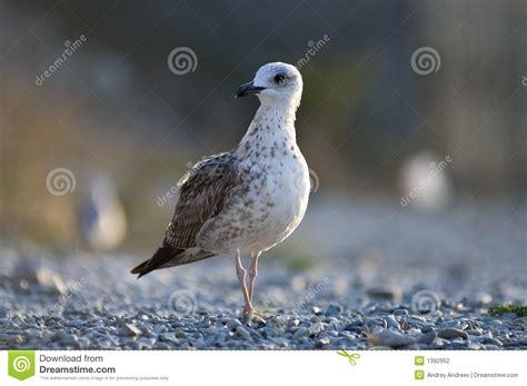 Il Gabbiano Uccello by Il Gabbiano Fotografia Stock Immagine Di Uccello