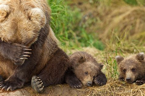 wont   adopt  grizzly bear cub