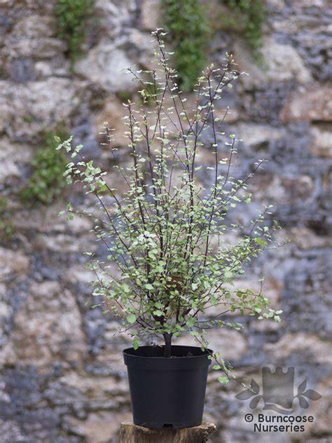 pittosporum tenuifolium silver sheen  burncoose