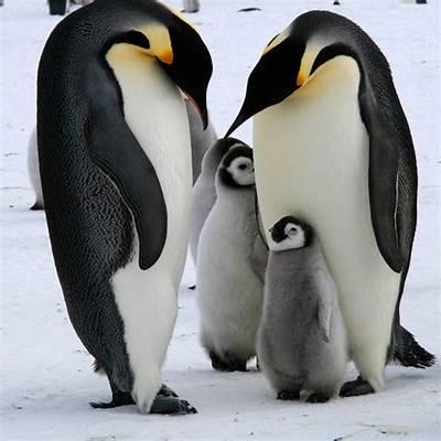 Penguin Familywww.imgkid.com - The Image Kid Has It!