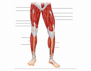 Lower Limb  Superficial Muscles  Anterior View