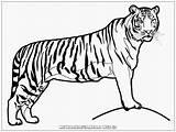 Harimau Gambar Mewarnai Tiger Coloring Realistic Hewan Sketsa Binatang Singa Untuk Contoh Kolase Kartun Buat Dengan Warna Animasi Paud Cat sketch template