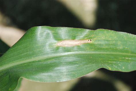 corn leaf blight northern urea burn malady apart tell crops mississippi lesion