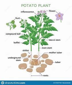 Potato Plant Vector Illustration In Flat Design  Potato