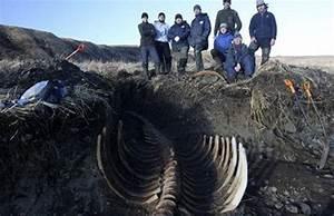Skeleton Of Ancient Steller U0026 39 S Sea Cow Found In Russia  Mermaid Next