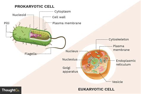What Are The Differences Between Prokaryotes Eukaryotes