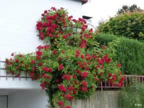 kletterrosen balkon blühende kletterpflanzen greenduck