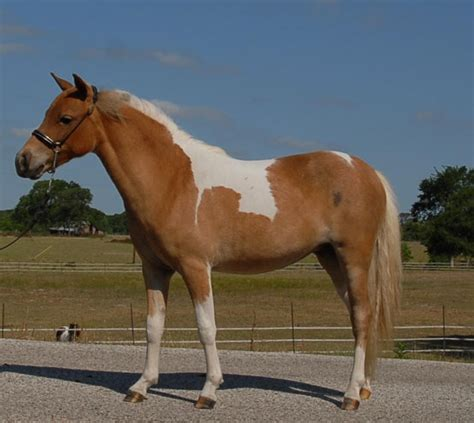 horse pet horses miniature pets mini american care mare paint foaled soon solid bay 2000