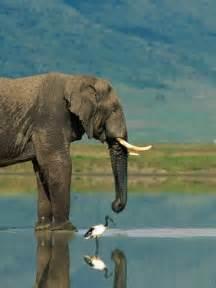 Botswana African Elephant
