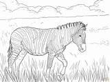 Zebra Coloring Plain Supercoloring Pages Burchell Plains Zebras Super Ausmalbilder Baby Zum Animals Ausmalbild Grade Zebre Tiere Dessin Von Ausmalen sketch template