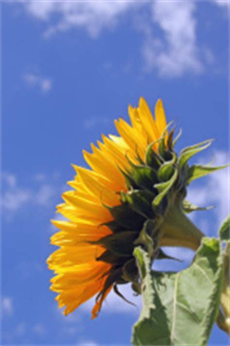 sunflower side view stock  freeimagescom